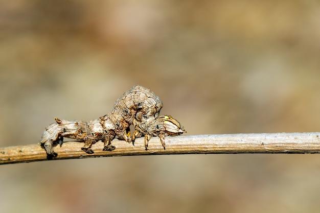 Коричневая гусеница на ветке Premium Фотографии