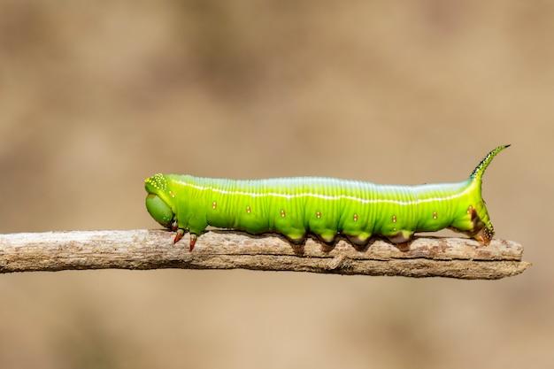 Зеленая гусеница на ветке Premium Фотографии