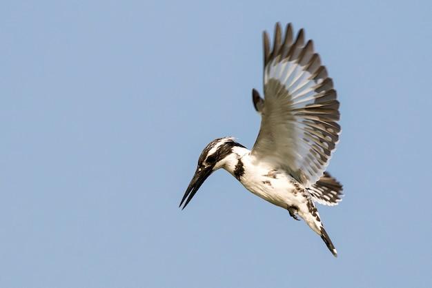 Пегий зимородок завис в полете на небе Premium Фотографии
