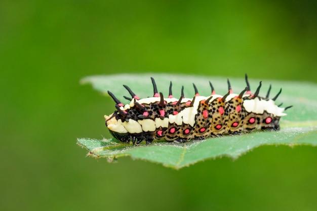 Гусеницы обыкновенной пантомимы на зеленых листьях Premium Фотографии