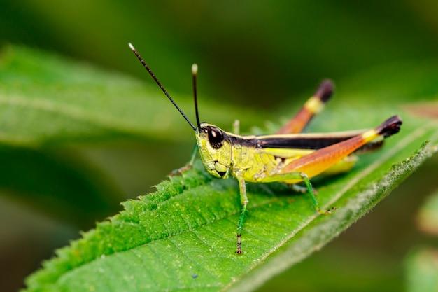 Кузнечик на зеленых листьях в природе Premium Фотографии