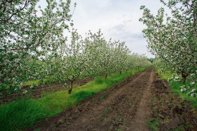 Цветущий яблоневый сад весной на открытом воздухе в деревне. молодые яблони посажены и растут рядами в саду за городом. садоводство. агрономии. Premium Фотографии