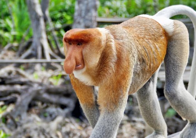 ボルネオ(カリマンタン)のジャングルの鼻猿 Premium写真