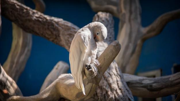 Белый попугай сидит на дереве и ухаживает за оперением Premium Фотографии