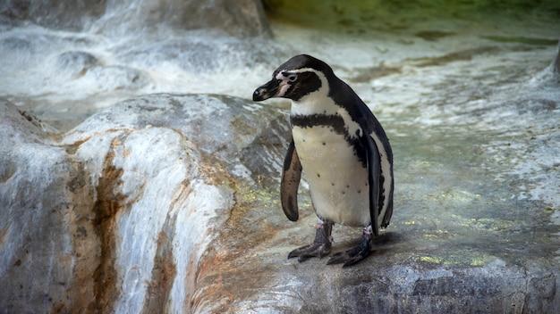 Пингвины гумбольдта стоят в естественной среде, на скалах у воды Premium Фотографии