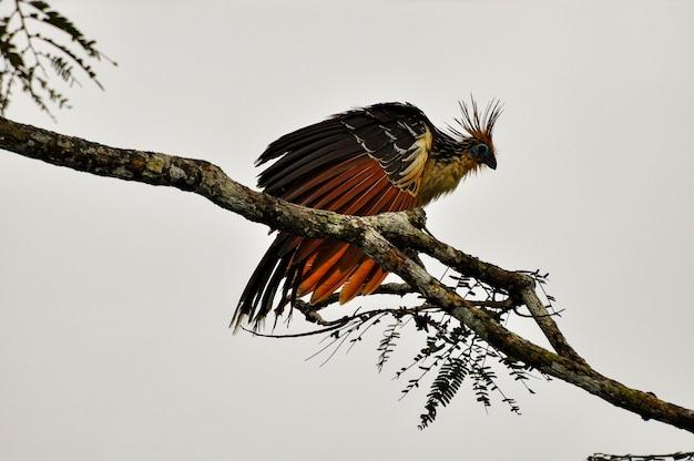 Птица хоатзин Premium Фотографии