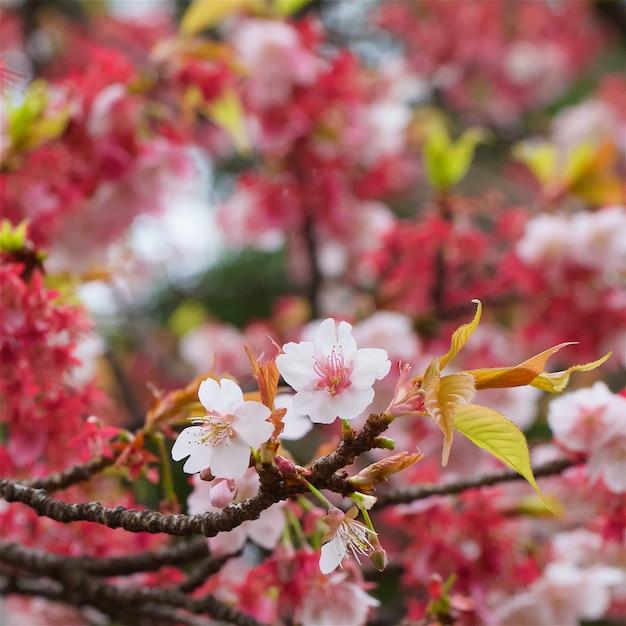 桜の花、フィールドの浅い深さで早春の桜のショットを閉じる Premium写真