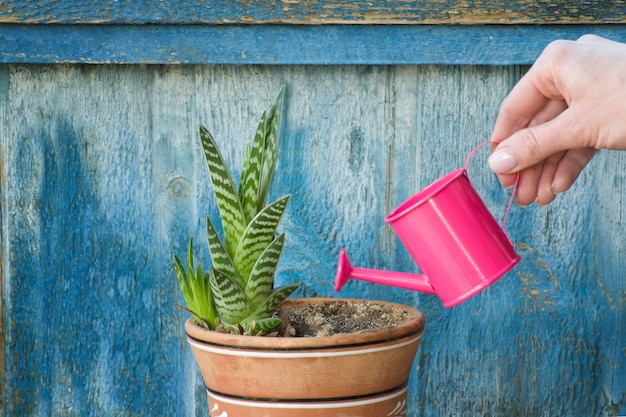 Маленькая розовая лейка в женской руке поливает сочные. старый деревянный фон Premium Фотографии