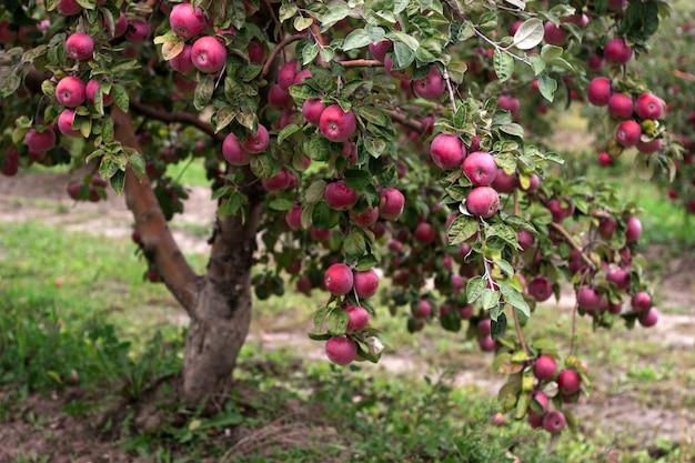 Спелые яблоки на ветвях дерева в саду. выборочный фокус. Premium Фотографии