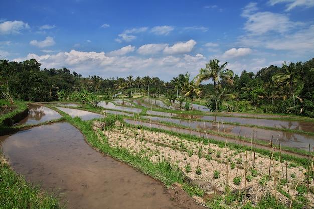 インドネシア、バリ島の棚田 Premium写真