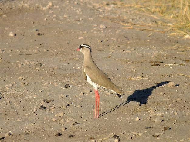 Птица на сафари в национальном парке чобе, ботсвана, африка Premium Фотографии