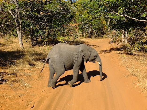 Слон в национальном парке чобе, ботсвана, африка Premium Фотографии