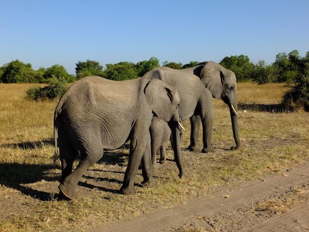 Слон на сафари в национальном парке чобе, ботсвана, африка Premium Фотографии