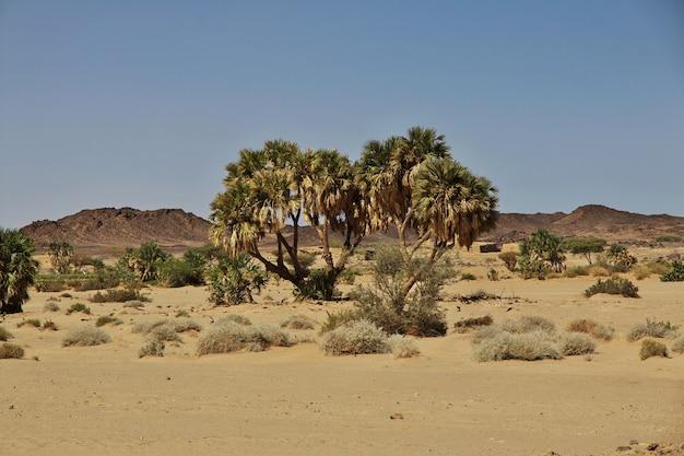 ガザリ、スーダン、アフリカのヤシ Premium写真
