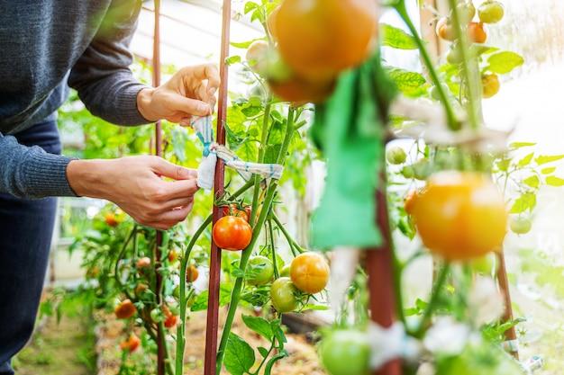 温室でトマトフルーツの成長を気遣う女性 Premium写真