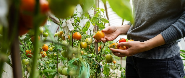 灰色のセーターを着た若い女性が温室でトマトを収集します。収穫野菜コンセプト Premium写真