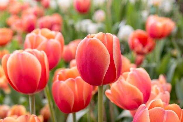 ラヨーンの春の花壇の赤いオレンジ色のチューリップ 無料写真