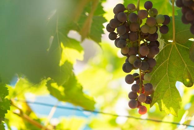 Виноградник и виноград Premium Фотографии