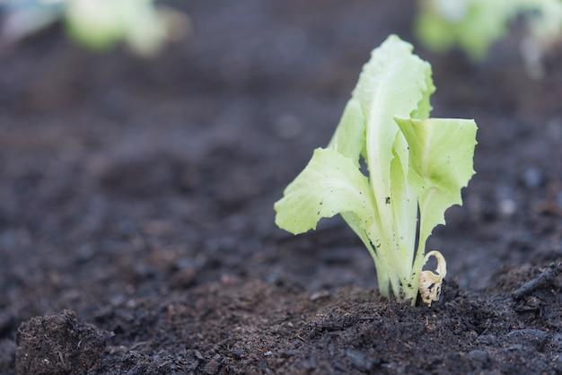有機オークレタス農園の実際のシーン Premium写真