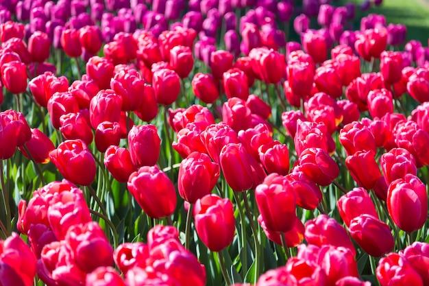 オランダの公共フラワーガーデンに咲く色とりどりのチューリップの花壇。 Premium写真