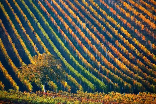 秋の木とブドウ畑のカラフルな行。南モラビア、チェコ共和国。 Premium写真
