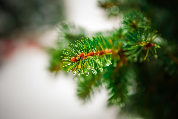 針葉樹の枝 Premium写真
