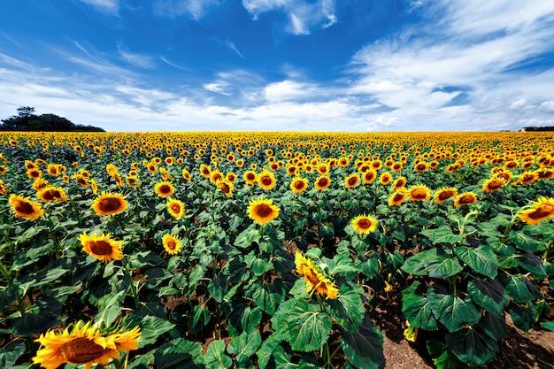 Поле цветущих подсолнухов Premium Фотографии
