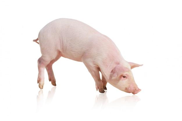 分離されたピンクの豚 Premium写真