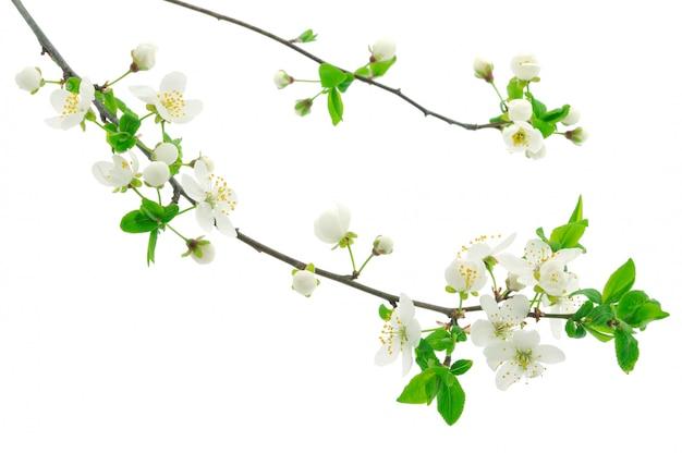Вишневые цветочные ветви на белом фоне Premium Фотографии