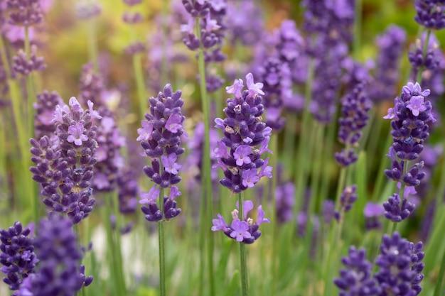 Лаванда цветы в полном расцвете Premium Фотографии
