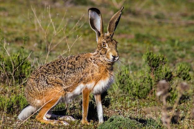 野ウサギ Premium写真