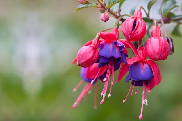 フクシアの花の美しく繊細な赤と紫の花びら Premium写真