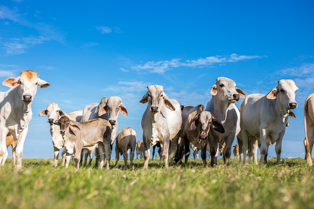夏の緑のフィールドで子牛の群れ Premium写真
