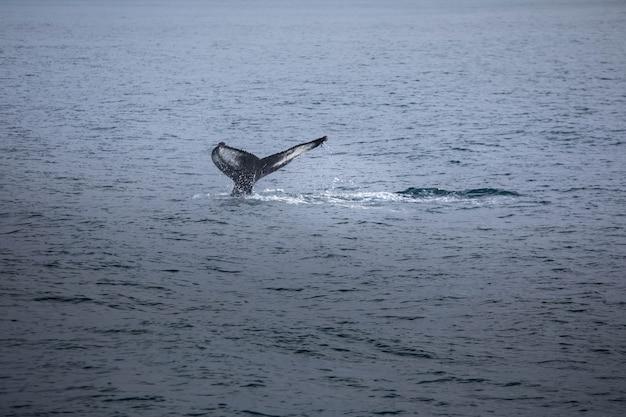 北アイスランド、フーサヴィーク近くのザトウクジラ。 Premium写真