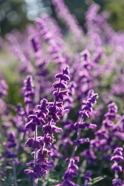 紫のラベンダーのクローズアップの背景 無料写真