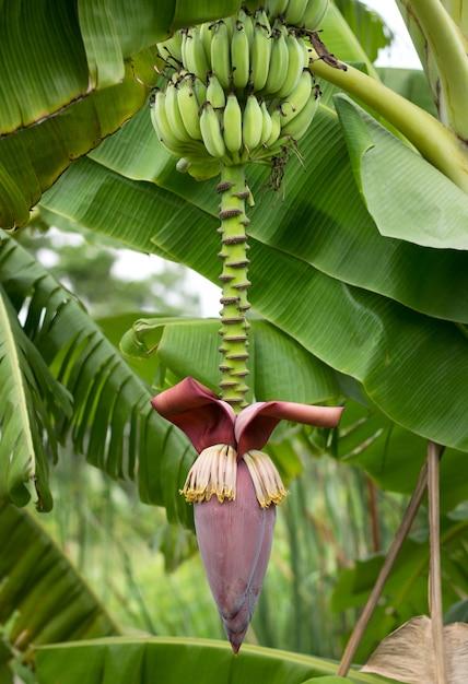 バナナの花とバナナの木 Premium写真