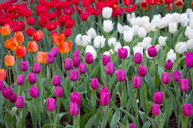 Красочные поля тюльпанов в саду Бесплатные Фотографии