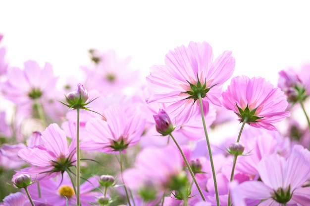 コスモス、花、白、背景 無料写真