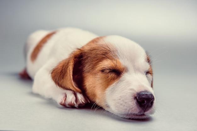 眠っているジャックラッセルテリア子犬 Premium写真