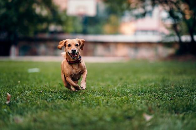 草の上を走っている茶色の犬 Premium写真
