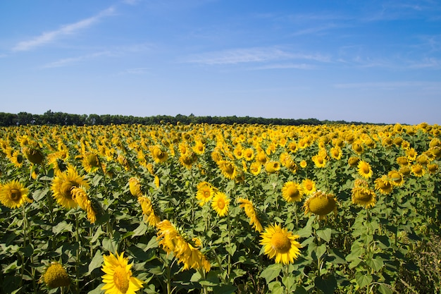 Поле подсолнухов и голубое небо Premium Фотографии