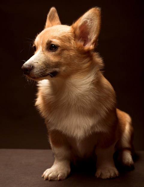 黒の背景の前に座っている子犬ウェルシュコーギー Premium写真