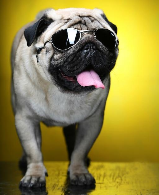 Мопс с очками. Premium Фотографии