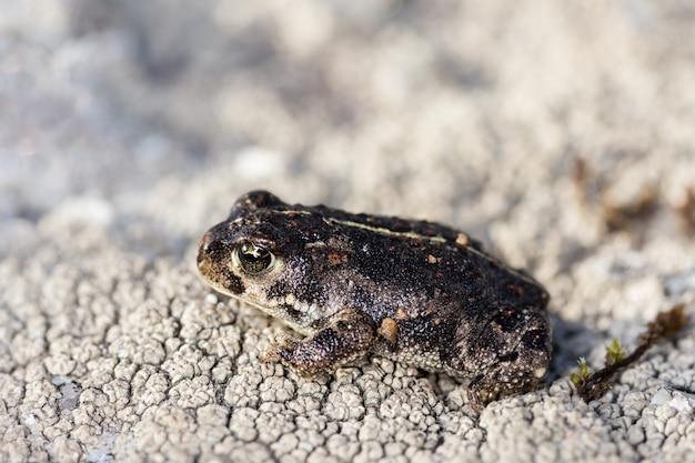 自然環境の小さなヒキガエル Premium写真