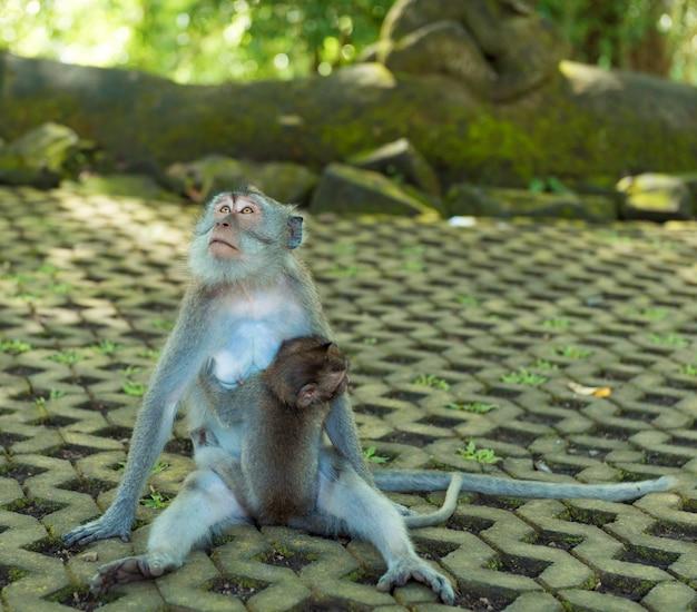バリ島ウブドのサル 無料写真