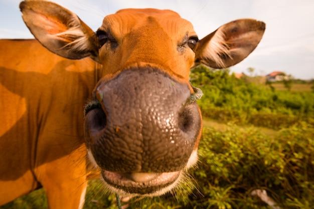 かわいい牛 無料写真