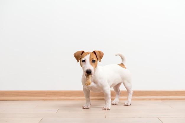 ジャックラッセルテリアの子犬 無料写真