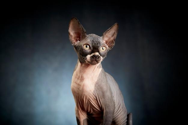 スフィンクスの子猫のポートレート Premium写真