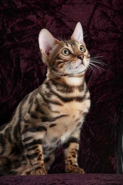 Портрет бенгальского породистого кота Premium Фотографии