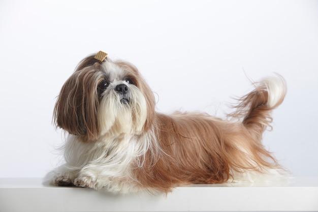 Прекрасная породистая собака ши-тцу Premium Фотографии